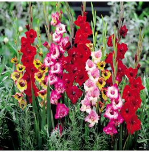 Gladiolus flower bulbs-seed